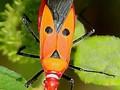 'Hitler böceği bulundu'