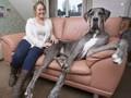 İngiltere´nin en büyük köpeği