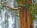 Dağa tırmanır gibi ağaca tırmandılar