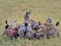 Hamile zebra ve 20 sırtlan...