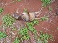 Kanguruyu böyle yuttu